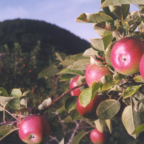 Verger de pomme